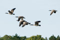 Canada geese in flight a flock of Stock Photography