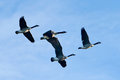 Canada geese in flight a flock of with a blue sky background Royalty Free Stock Photos