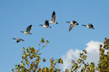 Canada geese in flight a flock of over trees Stock Photography