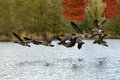Canada geese in flight a flock of over water with a fall background Stock Photos