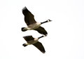 Canada geese in flight migration flying formation white background Stock Images