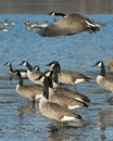 Canada geese a flock of on a cold winter day Royalty Free Stock Images