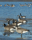 Canada geese a flock of on a cold winter day Stock Images