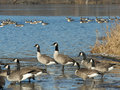 Canada geese a flock of on a cold winter day Stock Photography