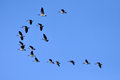 Canada geese flying in the blue sky delta bc Stock Photo