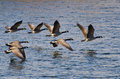 Canada Geese Flying Over Water Stock Photo