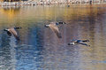 Canada geese flying over water in autumn three Stock Image