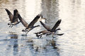 Canada geese flying over water a flock of Royalty Free Stock Photography
