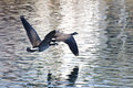 Canada geese flying over water a pair of Stock Photography