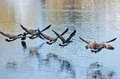 Canada geese flying over water seven Stock Images