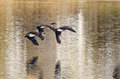 Canada geese flying over water three Royalty Free Stock Photography