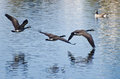 Canada geese flying over water three Stock Images