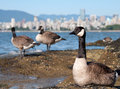Canada Geese In Front of Vancouver Skyline Stock Photo