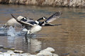 Canada Geese Taking to Flight from the River Royalty Free Stock Photo