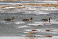 Canada geese three on pond Stock Photos