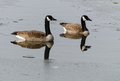 Canada geese in winter swimming between ice floes Royalty Free Stock Photography