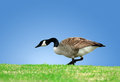 Canada Goose Stock Photos