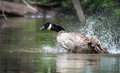 Canada goose bathes with vigor in the ottawa river loves bathing and frolicking enthusiasm waters of Royalty Free Stock Photos