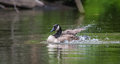 Canada Goose bathes with vigor in the Ottawa River. Royalty Free Stock Photo
