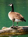 Canada Goose (Branta canadensis) Royalty Free Stock Photo