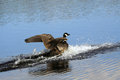 The canada goose branta canadensis Stock Images