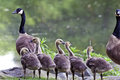 Canada goose branta canadensis in central park new york city Royalty Free Stock Photos