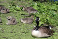 Canada goose, branta canadensis, with goslings Royalty Free Stock Photo