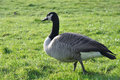 Canada goose branta canadensis west coast south island new zealand Stock Photos