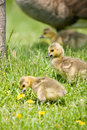 Canada Goose Chicks looking for food Stock Photo