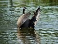 Canada goose conductor if nature were a symphony this would be it s a perfect timing image of a flapping its wings in the water Royalty Free Stock Photography
