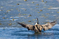 Canada goose encountering nasty ice flow with wings outstretched Stock Images