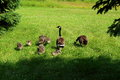 Canada goose family in grass on a bright day Royalty Free Stock Photo