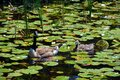 Canada goose family is a large wild goose species Royalty Free Stock Photo