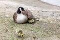 Canada goose family Royalty Free Stock Photo