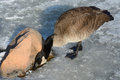 Canada goose finding water to drink in crack between ice of frozen lake and rock Royalty Free Stock Photography