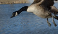 Canada goose in flght birdflying over lake with feet dangling down Stock Images