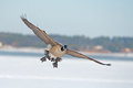 Canada goose a in flight over frozen river Royalty Free Stock Photography