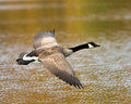 Canada goose in flight a over water Royalty Free Stock Photo