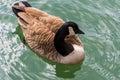 Canada Goose floating  on lake. Royalty Free Stock Photo