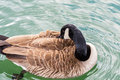 Canada Goose floating, preening, on lake. Royalty Free Stock Photo