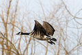 Canada goose flying with tree branches in background Stock Image