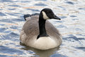 Canada goose front profile looking right Royalty Free Stock Photo