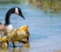 Canada goose gosling adorable stepping out of lake water Royalty Free Stock Photo