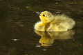 Canada goose gosling duckling a new born floats in the water Royalty Free Stock Photo