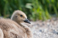 Canada goose gosling on the marsh road Royalty Free Stock Image