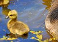 Canada goose gosling a sitting in a pond Stock Photo