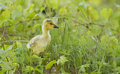 Canada goose gosling in spring Stock Images