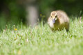 Canada goose gosling walking and eating on the grass Royalty Free Stock Images