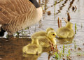 Canada Goose Goslings Royalty Free Stock Photo