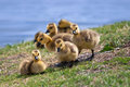 Canada goose goslings Royalty Free Stock Photos